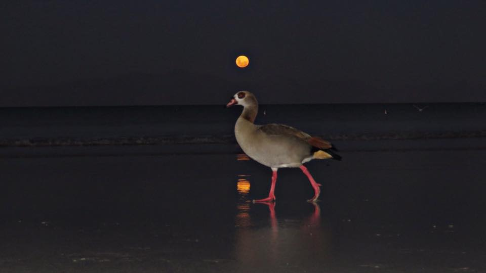 Moonshine-The-Goose-Aly-Ison-
