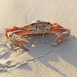 Crab-Ahoy-Aly-Ison